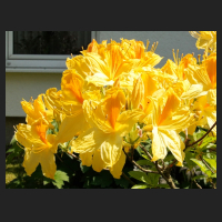 2015-05-22_Rhododendron_luteum_Goldpracht_2.jpg
